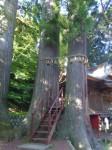 日枝神社3・子宝の杉