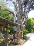 伊古奈比咩命神社(白濱神社)3・真柏