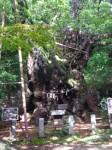 葛見神社3・大樟