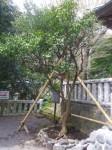 三島神社5・橘の木
