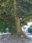 音無神社6・ムクの木と椎の木